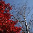 紅葉と白樺