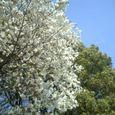 等々力の八重桜